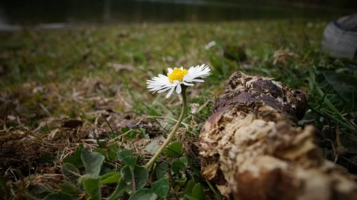 Fotografie eines Gänseblümchens